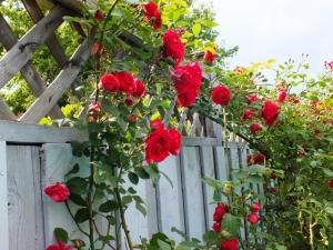 bristol climbing roses
